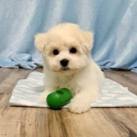 Regalo Mini Toy Cachorros Bichon Maltes para su adopcion