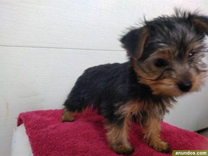 Regalo cachorro yorkshire terrier - Calders