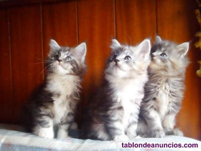 Maine coon cachorros