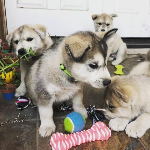 Adorables cachorros husky para adopción.