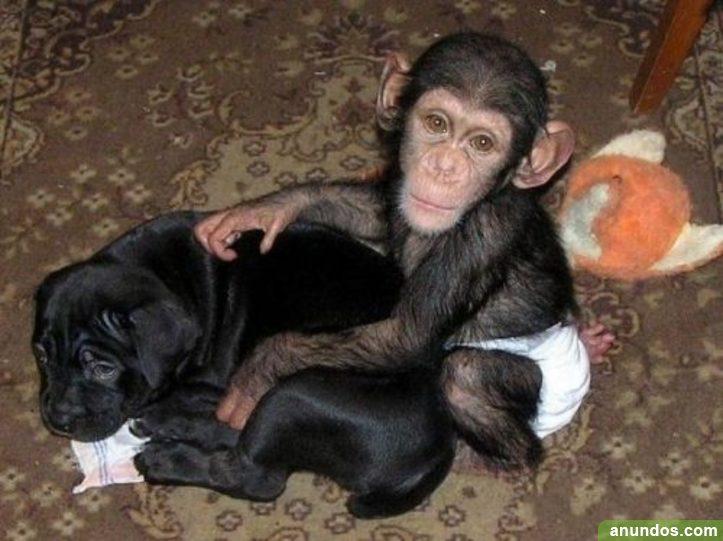 Monos adorables, bebés chimpancés disponibles - Adamuz