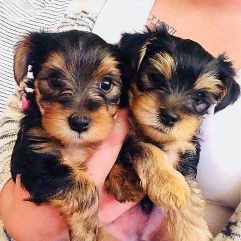 Yorkshire cachorros macho y hembra para adopción.