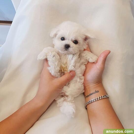 Una saludable y bella camada de cachorros malteses a la