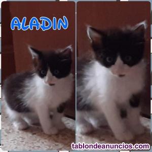 Aladdin. Gatito de 2 meses en adopción