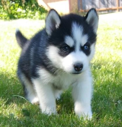 Regalo cachorros Husky Siberiano macho y hembra