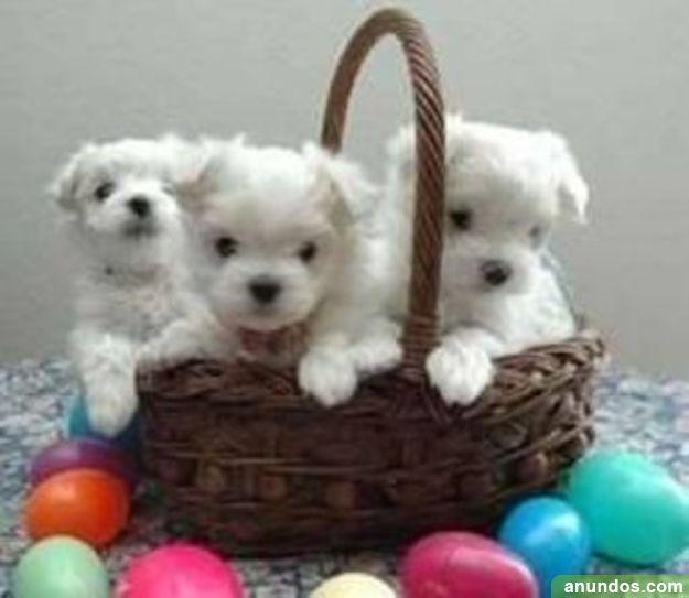 Regalo mini toy cachorros bichon maltes - Cubas de la Sagra