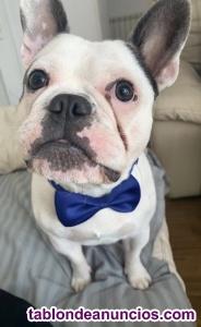 Bulldog de año y medio busca perrita para monta