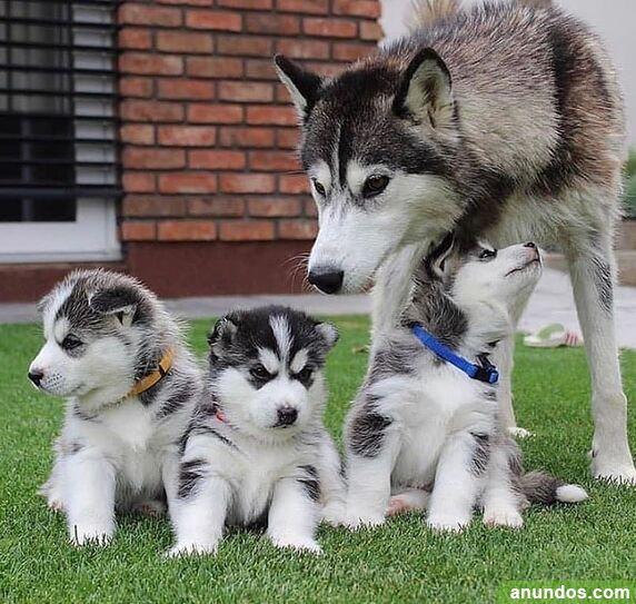 Preciosos cachorros husky siberiano - Baña
