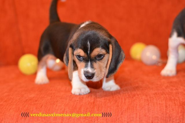 Tenemos camadas de Beagle. Hay cachorritos de diferentes