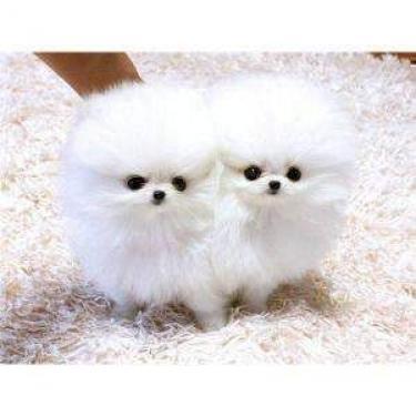 Regalo Cachorros Lulu Pomeranian Mini Toy para su adopcion