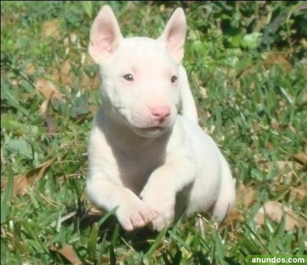 Inglés bull terrier perra kc registrado - Albalat de la