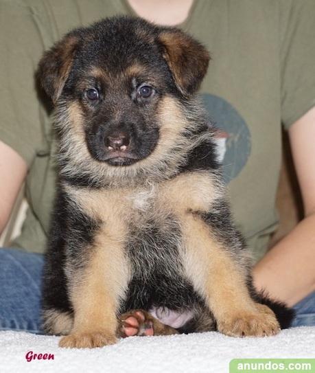 Kc reg cachorros de pastor alemán - Beas de Guadix