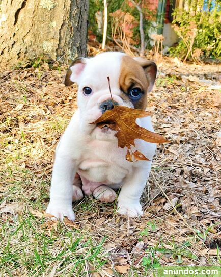 Macho y hembra cachorros bulldog ingles - Campillo de