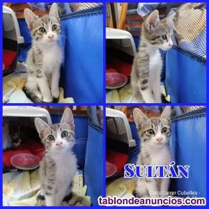 Precioso gatito en adopción