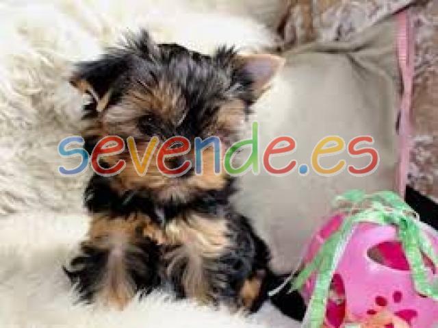 Regalo 12 semanas yorkie cachorros disponible
