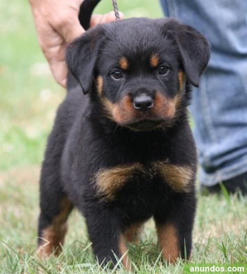 Regalo preciosos cachorros rottweiler o.tienes vacunados, -