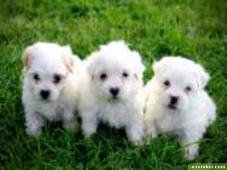 001regalo mini toy cachorros bichon maltes - Albacete Ciudad