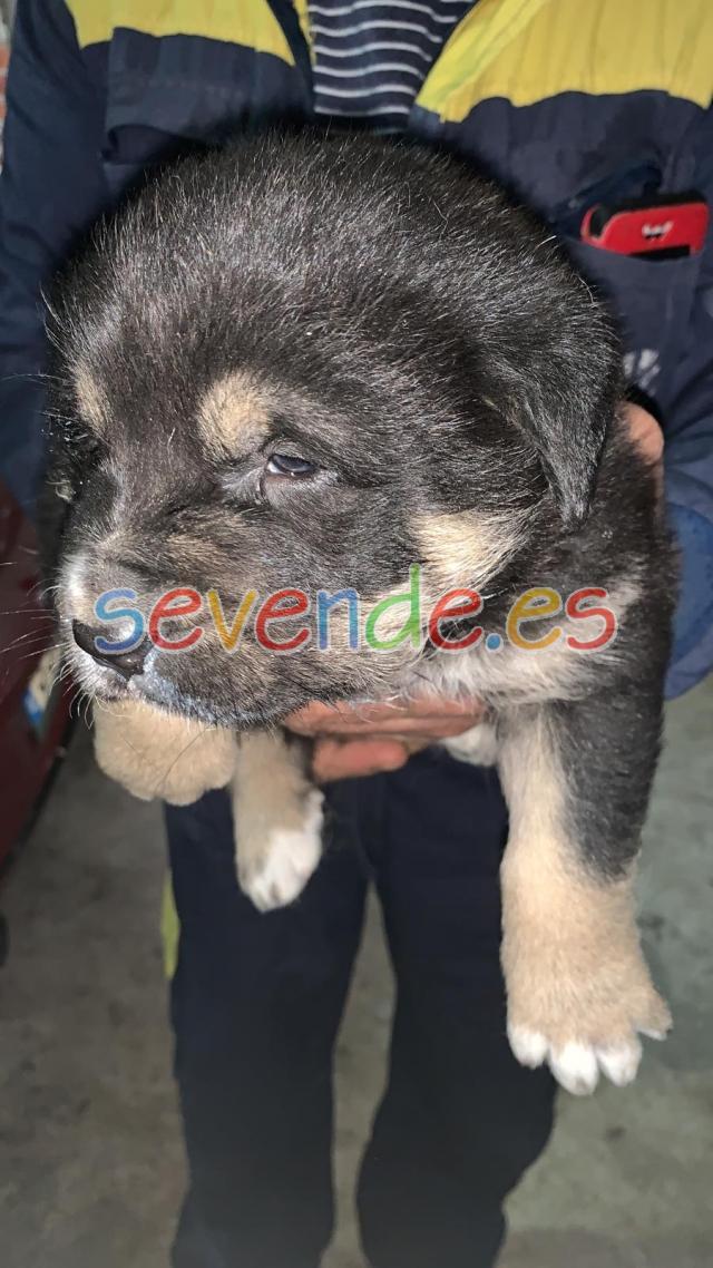 Cachorros de Mastín Leonés