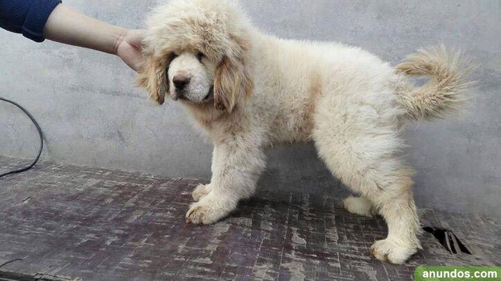 Cachorros de mastín tibetano gratis - A Coruña Ciudad