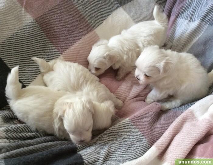 Veterinario, vacunas cachorros malteses - Almenara
