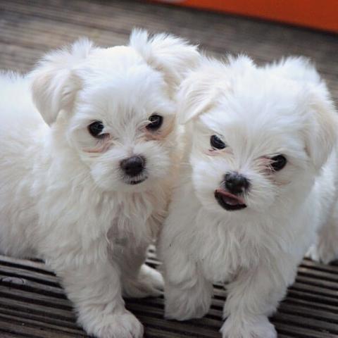Adorable cachorros bichón maltés para adopción.