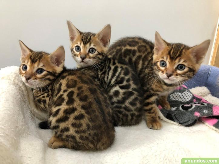 Tengo tres gatitos de bengala, un macho y una hembra - Badia