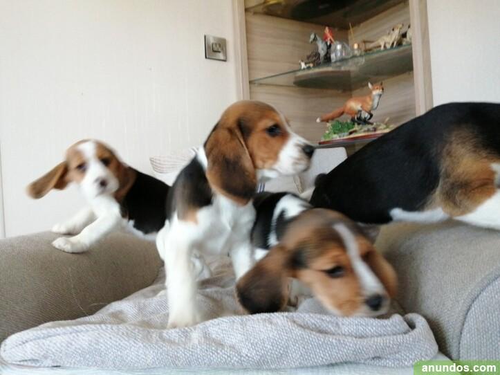 Aquí tenemos una hermosa camada de cachorros beagle -