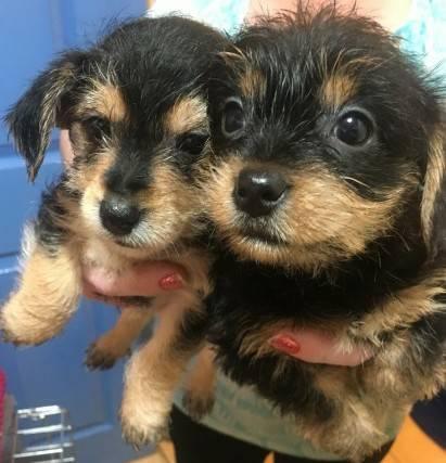 Cachorros Yorkie por una pequeña tarifa de adopción