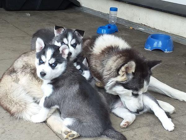 Encantadores cachorros de Husky siberiano para adopción