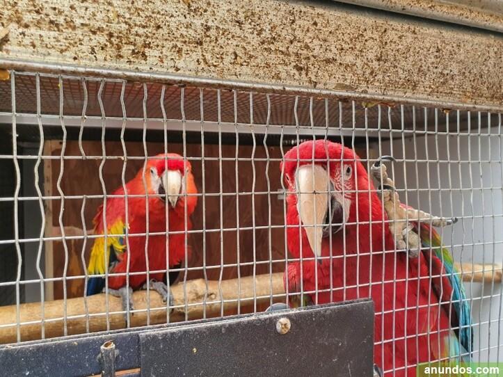 Hembra y guacamaya roja con jaula - Aldealengua de Pedraza