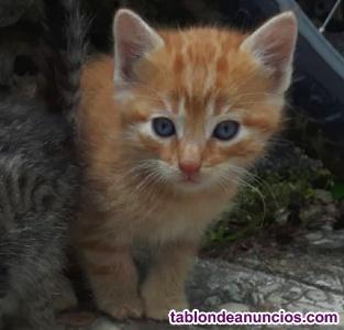 Gatito naranja de 1 mes en adopción