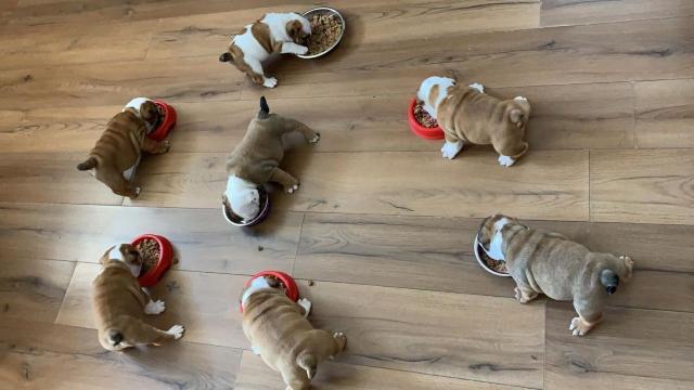 7 Hermosa Cachorros (+) de bulldog Inglés para