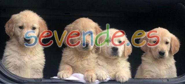 Cachorros de golden retriever pura raza
