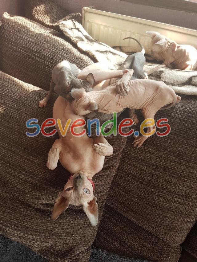 Gatitos de raza sphynx muy cariñosos