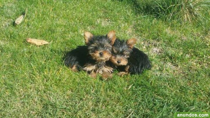 Regalo cachorros toy de yorkshire terrierhh - Segovia Ciudad