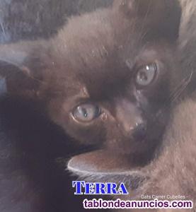 Gatito negro en adopción