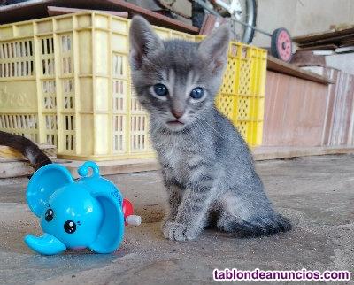 Se regalan gatitos de dos meses