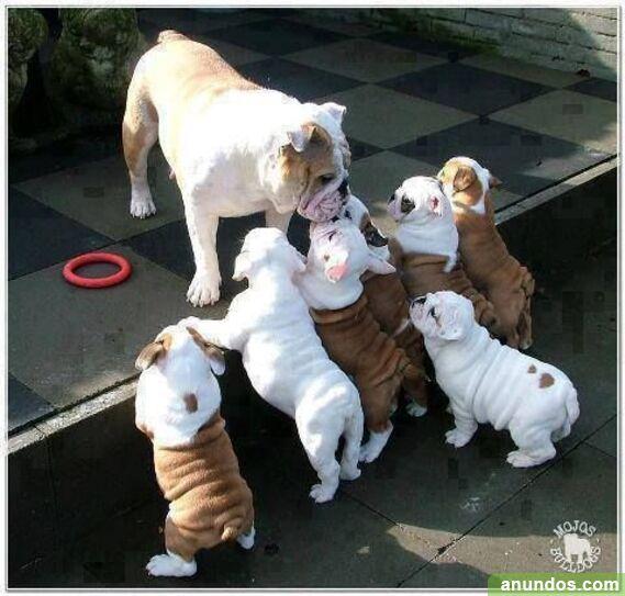 Comprar cachorros de bulldog inglés de calidad - Beuda