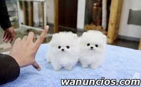 Pomerania Cachorros para tu hogar - Almería
