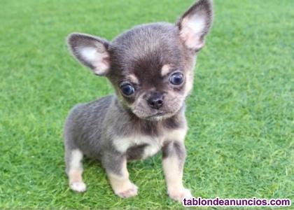 Chihuahua toy mini