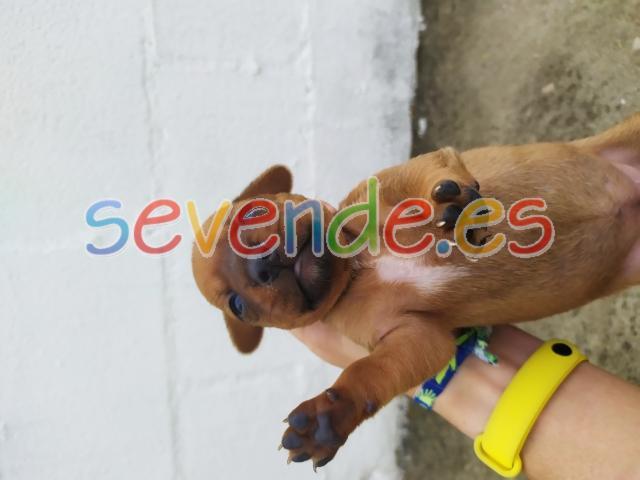 Teckel se vende cachorra de 19 días