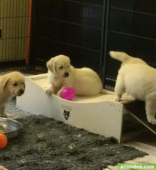 Adorables cachorros de golden retriever - Castilblanco
