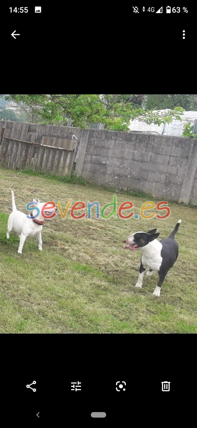 Camada bull terrier