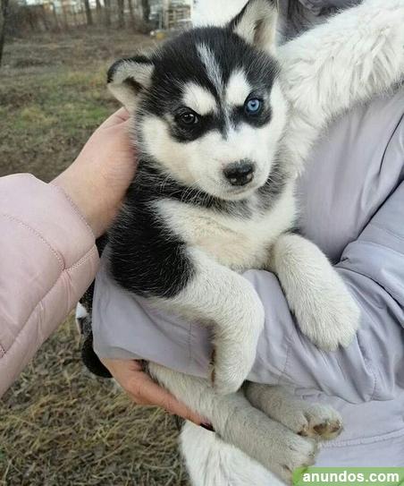 Tenemos 6 hermosos cachorros de husky siberiano - Algar de