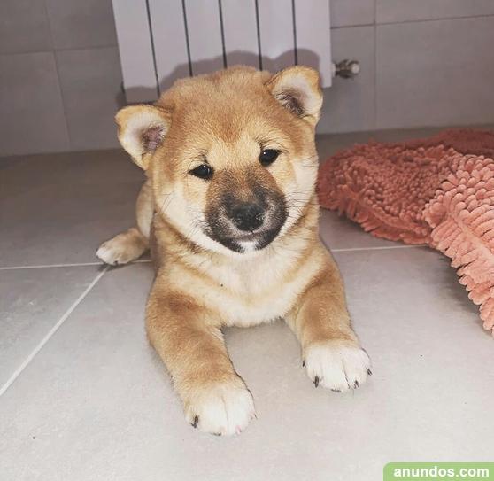 Cachorros due shiba inu macho y hembra disponibles - El