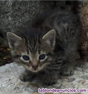 Gatitos atigrados de 1 mes y medio en adopción