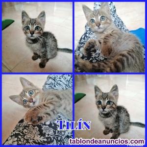 Gatito precioso en adopción