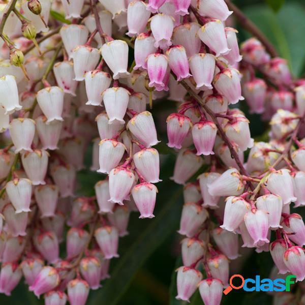 100 Unids Campanula Orchid Flower Semillas Magia Jardín