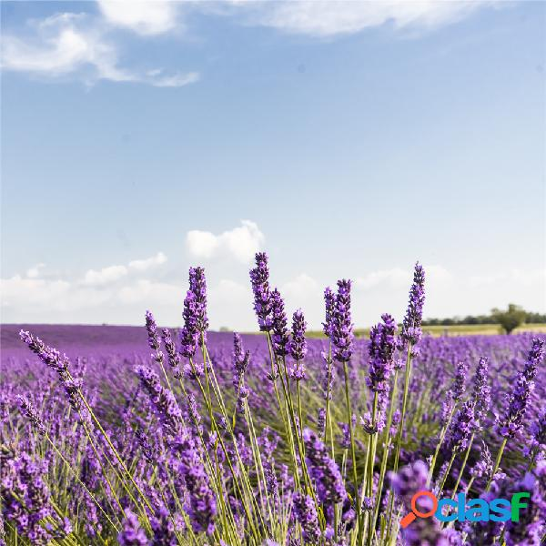 100 piezas de flor de lavanda Semillas flor en maceta Planta