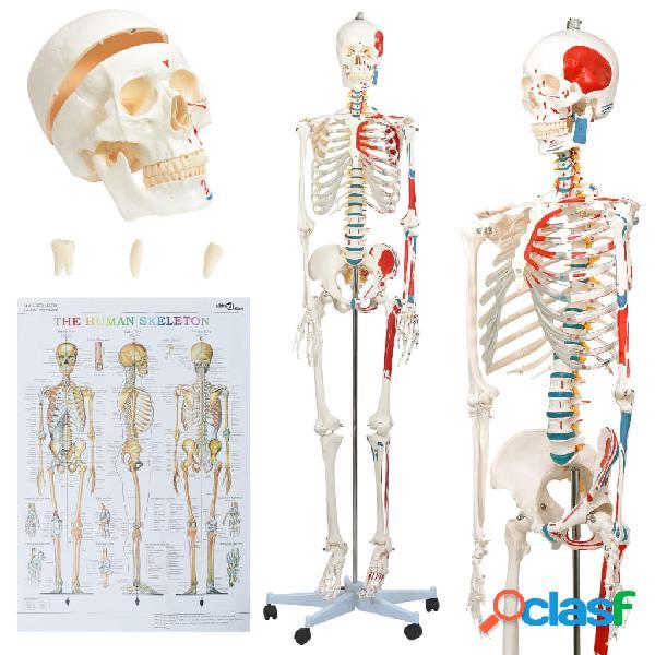 vidaXL Esqueleto de anatomía humana modelo educativo con